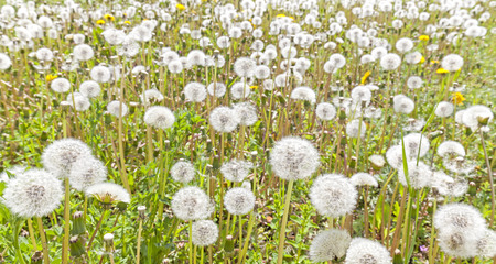 panoramic nature: Field of dandelions, panoramic nature background, shallow depth of field. Stock Photo