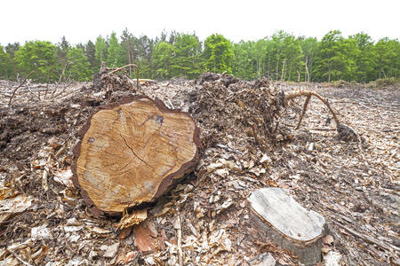 felled: Tree stumps on felled forest, deforestation process.