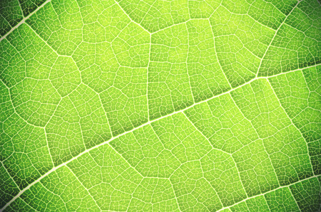 leaf close up: Green leaf close up, abstract texture or background.