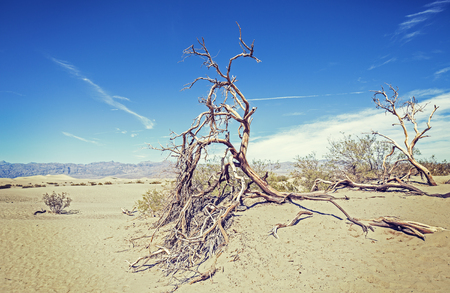 death valley: Dry trees on sand dunes, nature background, Death Valley desert, USA. Stock Photo