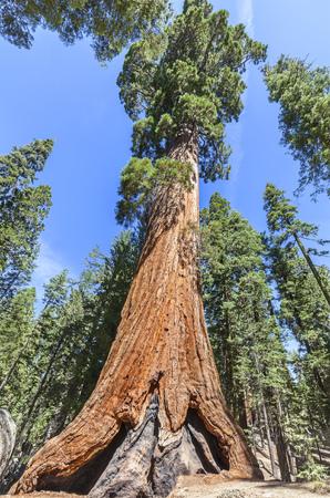 sequoia: Giant sequoia in Sequoia National Park, California, USA.