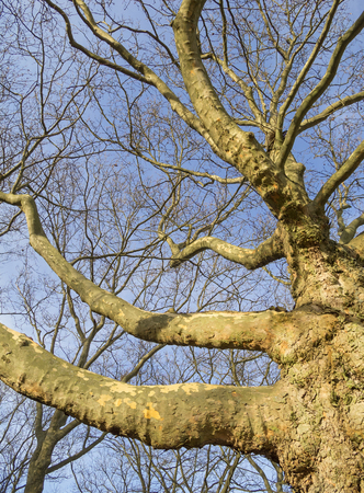 leafless: Leafless plane tree branches.