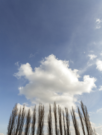 poplars: Silhouettes of poplars against cloudy blue sky, copy space.