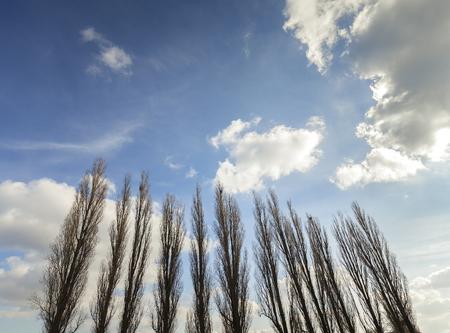 poplars: Silhouettes of poplars against cloudy blue sky.