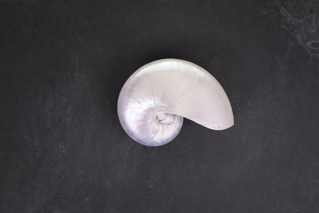 chambered: Pearl shell of a  chambered nautilus (Nautilus pompilius) on black slate background.