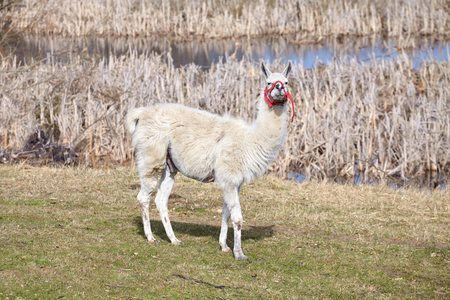 husbandry: White lama on a natural pasture in the springtime. Stock Photo