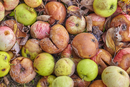 bad apple: Close up picture of rotten apples in a garden.