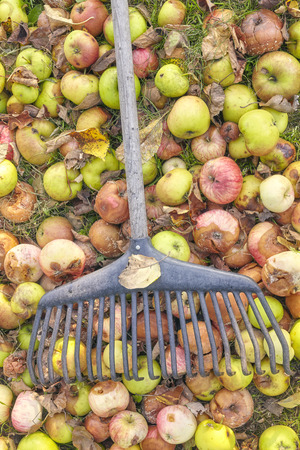 bad apple: Rake on rotten apples in a garden, autumn cleaning concept.