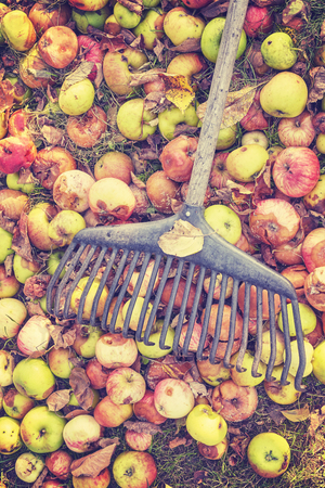 bad apple: Vintage toned rake on rotten apples in a garden, autumn cleaning concept.