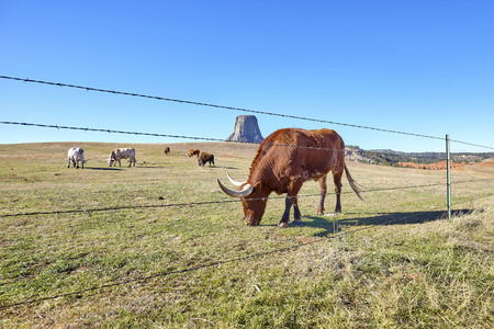Cattle behind barbed wire fence with Devils Tower in distance, top attraction in Wyoming State, USA.