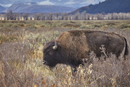 American bison (Bison bison) grazing in the Grand Teton National Park, Wyoming, USA. Stock Photo