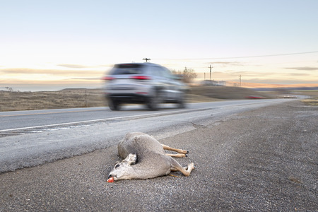 Dead deer hit by a car lying by the road with motion blurred vehicle, U.S. Highway 14, Wyoming, USA. Stock Photo