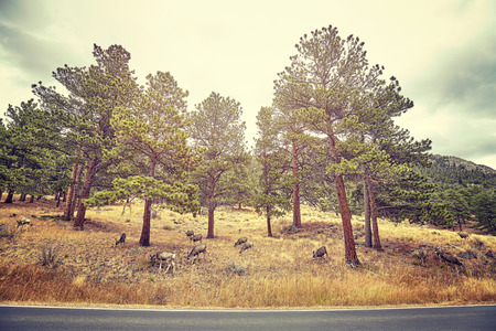 Color toned picture of deer by a road in Rocky Mountains National Park, Colorado, USA.