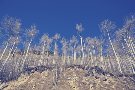 leafless: Color toned autumn leafless birch trees on a sunny day, looking up perspective. Stock Photo