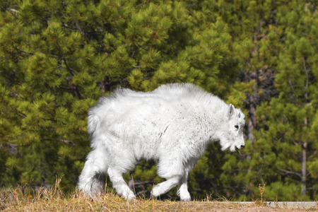 mount rushmore: Young mountain goat in Mount Rushmore National Monument, South Dakota, USA.