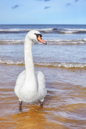 Picture of a mute swan on a beach, selective focus.