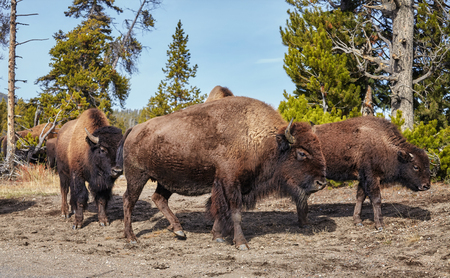Herd of American bison (Bison bison) in Yellowstone National Park, Wyoming, USA. Banco de Imagens