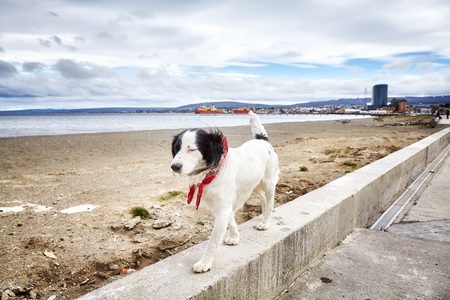 Unleashed dog walks on wall by a beach.