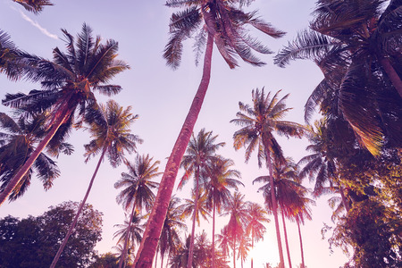 Coconut palm trees silhouettes at sunset, color toned picture, summer holiday concept.