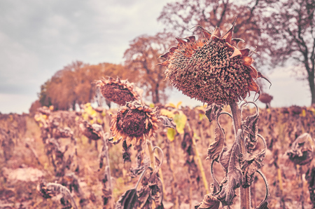 Close up picture of withered sunflowers heads, selective focus, color toning applied.