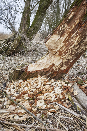 Tree gnawed by beavers with visible teeth marks and wood chips.