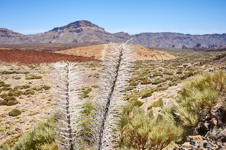 Dried Tower of jewels plant (Echium wildpretii), endemic species to the island of Tenerife in Teide National Park, Spain.