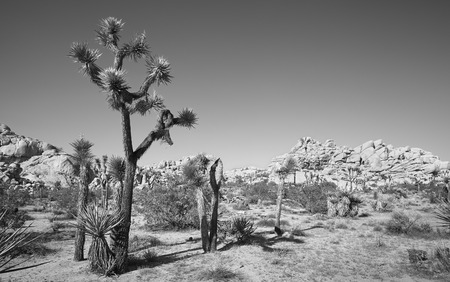 Black and white picture of Joshua Tree National Park landscape, California, America.
