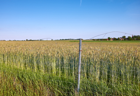 Field of rye behind a wire fence. Archivio Fotografico