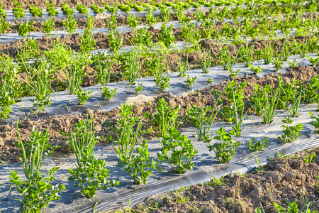 Celery and chives organic farm field with patches covered with plastic mulch used to suppress weeds and conserve water.
