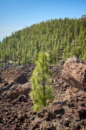 Canary Island pine forest in Teide National Park, Tenerife. Stockfoto