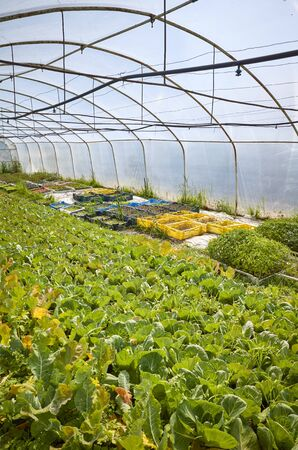 Interior of an old greenhouse with organic vegetables.