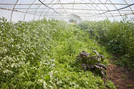 Interior of a greenhouse with organic vegetables during water spraying.