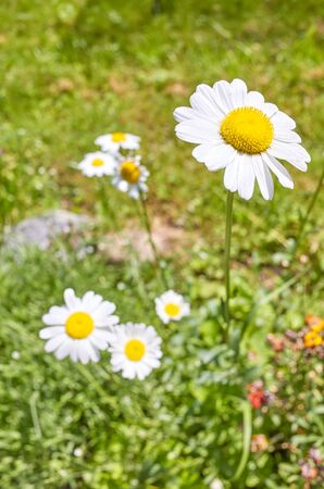 Close up picture of Oxeye daisy flower (Leucanthemum vulgare), selective focus. Stockfoto