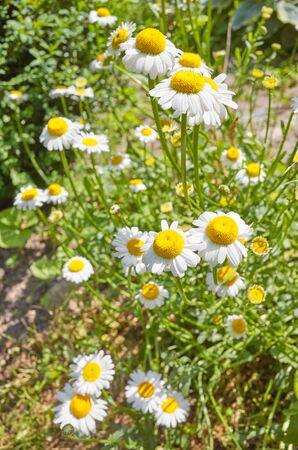 Oxeye daisy flowers (Leucanthemum vulgare) in a garden, selective focus.