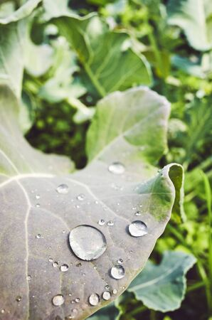 Close up picture of water drops on a leaf, color toned picture, shallow depth of field.