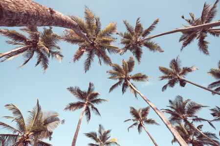 Looking up at coconut palm trees against the blue sky, color toning applied. Stock Photo