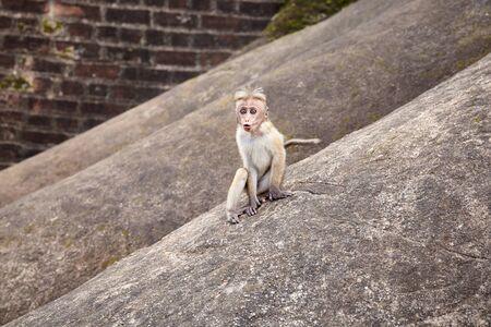 Baby Toque Macaque on a rock, Sri Lanka.