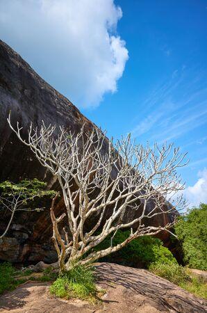 Leafless tree by Pidurangala Rock, Sri Lanka. Stock Photo