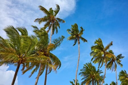 Coconut palm trees against the sky on a sunny day.