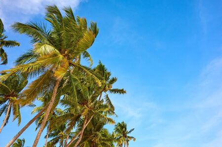 Coconut palm trees against the sky on a sunny day, space for text. Stock Photo