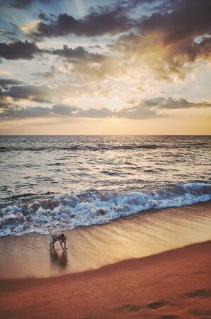 Dog on a tropical beach at sunset, color toning applied, Sri Lanka.