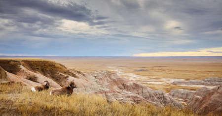 Bighorn sheep overlook plains of the Badlands National Park at sunset, South Dakota, USA.