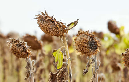 Field of withered sunflowers, natural disaster concept, selective focus.