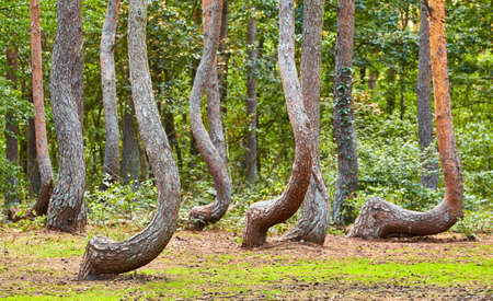 Oddly shaped pine trees in Crooked Forest located near Gryfino town, selective focus, Poland. Stock Photo