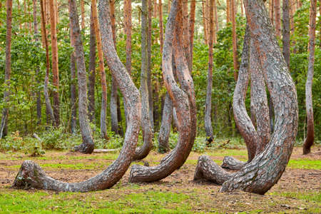 Oddly shaped pine trees in Crooked Forest located near Gryfino town, selective focus, Poland.