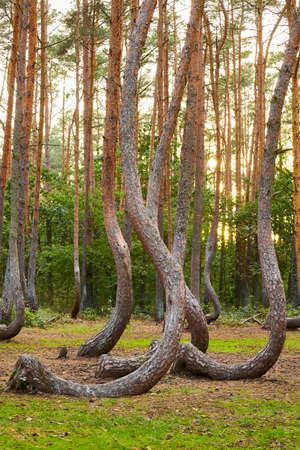 Oddly shaped pine trees in Crooked Forest at sunset, selective focus, Poland.