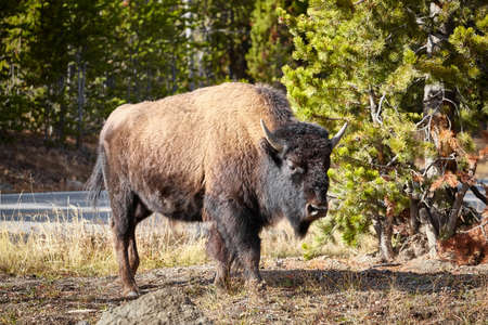 American bison (Bison bison) in Yellowstone National Park, Wyoming, USA.