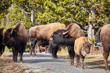 Herd of American bison (Bison bison) on a hiking trail in Yellowstone National Park, selective focus, Wyoming, USA. Standard-Bild