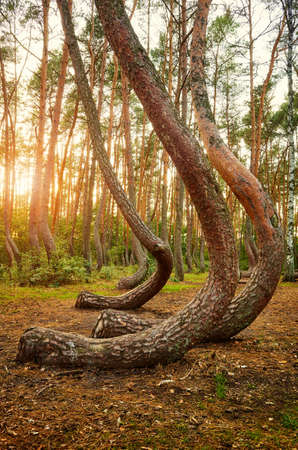 Bent pine trees in Crooked Forest (Krzywy Las) at sunset, Poland.