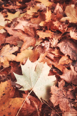 Autumn leaves on the ground, color toned nature background, selective focus.